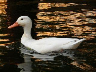 White.duck